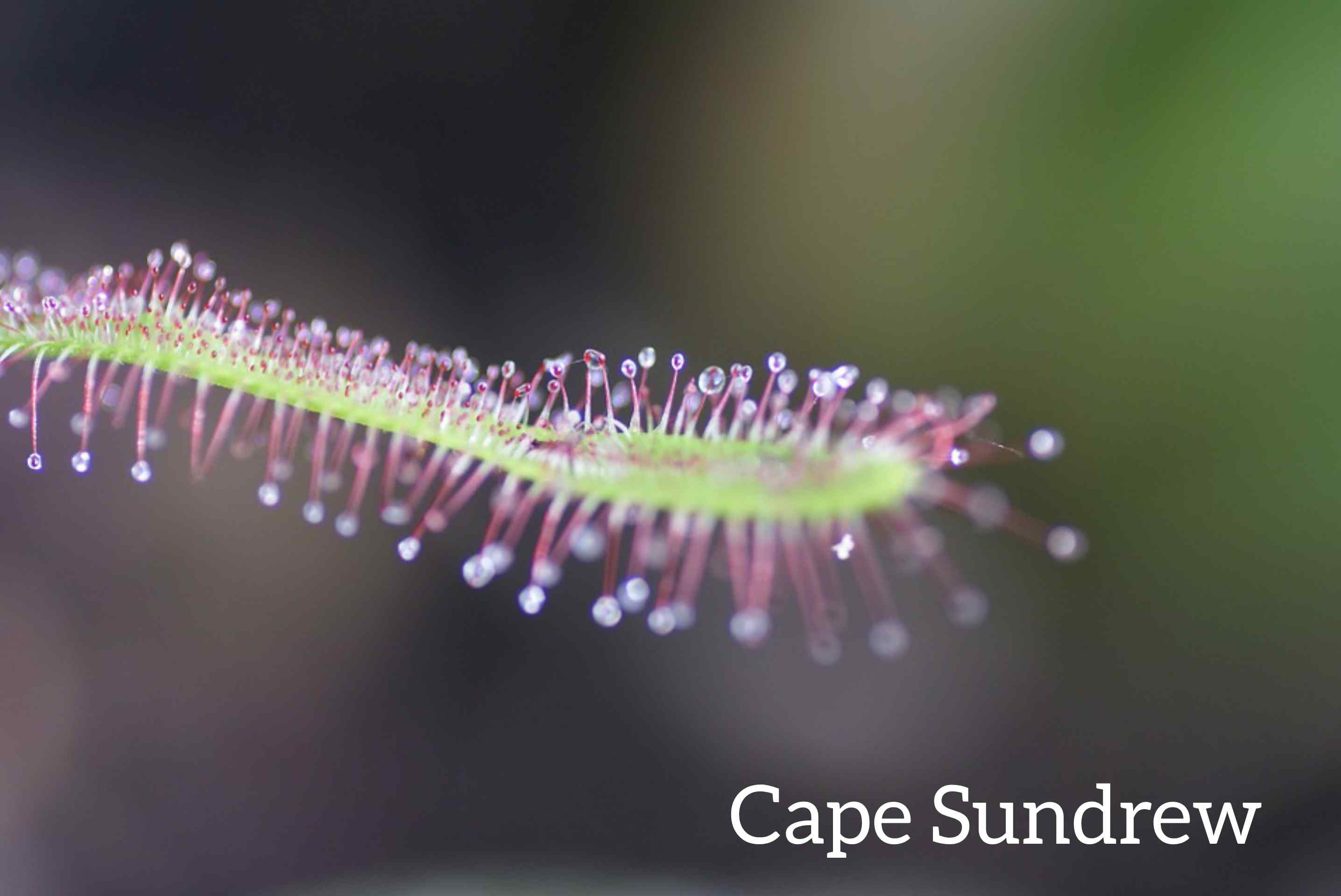Cape Sundrew Flower