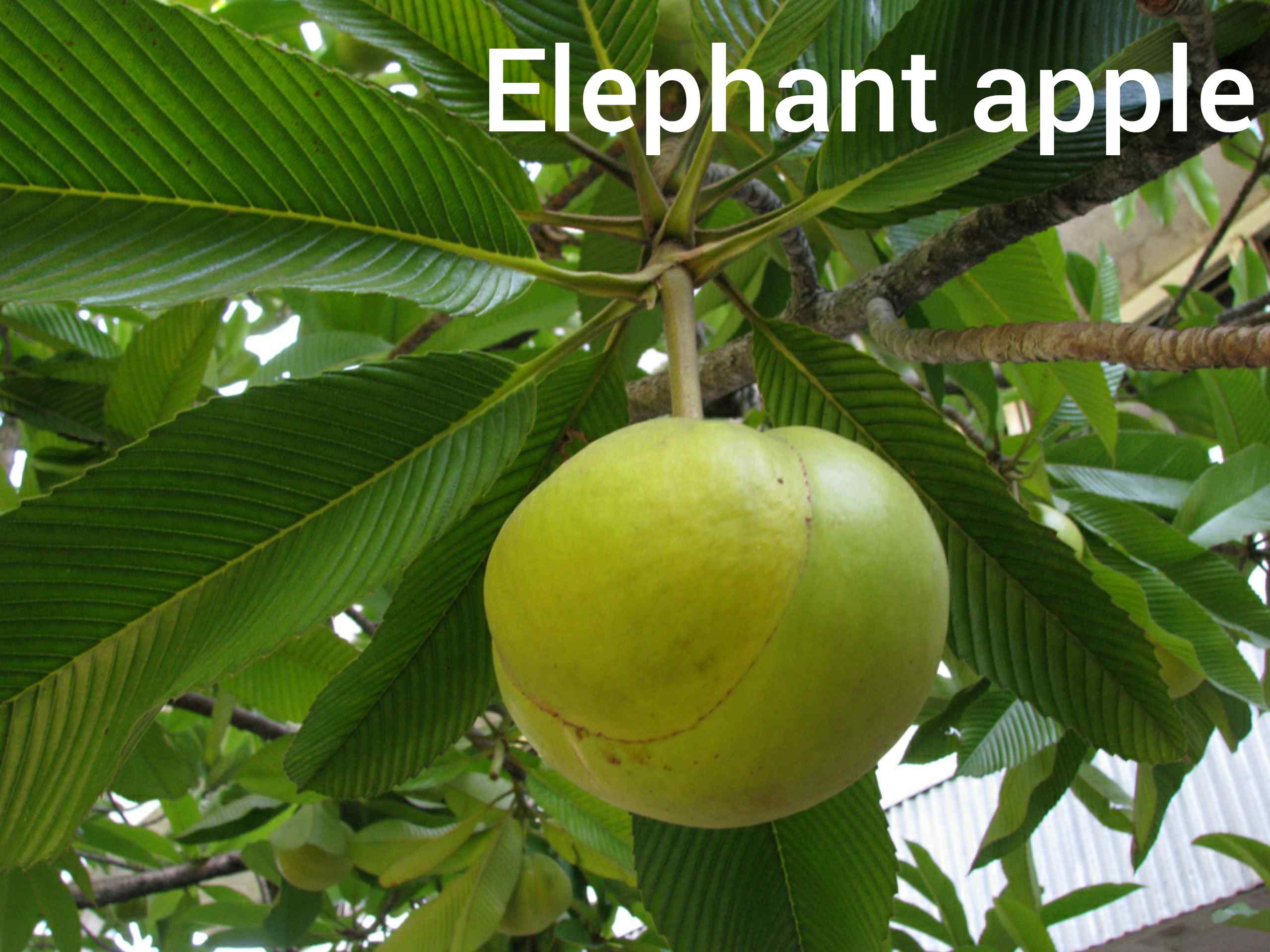 Elephant Apple